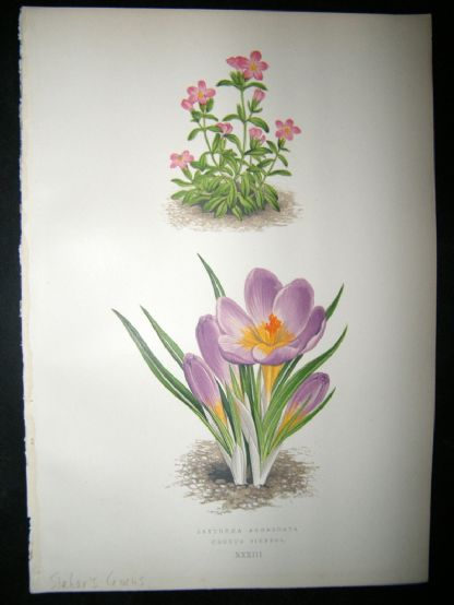 Wooster 1874 Antique Botanical Print. Sieber's Crocus | Albion Prints